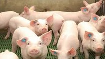 Dự báo sản lượng và xuất nhập khẩu thịt lợn của Canada năm 2022