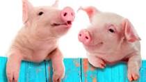 Xuất khẩu thịt lợn của Vương quốc Anh tiếp tục giảm