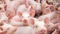 Nhập khẩu thịt lợn của Trung Quốc ảnh hưởng lớn đền kinh tế toàn cầu
