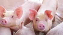Tổng đàn lợn của Mỹ giảm 4% so với cùng kỳ năm trước
