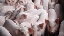 Giá thịt lợn tại Mỹ giảm nhẹ