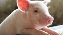 Sản lượng thịt lợn của Trung Quốc quý 3/2021 đạt mức cao nhất trong ba năm