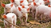 Giá thịt lợn tại Trung Quốc tăng