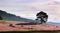 """Tới Đà Lạt ngắm """"cánh đồng tuyết hồng"""" đẹp như mơ"""