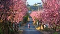 2.000 cây mai anh đào Đà Lạt sẽ khoe sắc vào lễ hội