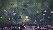 Cuối tháng 4 đến rừng Cúc Phương chiêm ngưỡng thiên đường của loài bướm