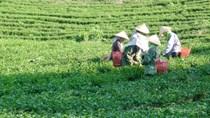 Xây dựng thương hiệu và phát huy văn hoá trà Việt