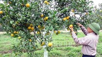 Nghệ An sẽ dán tem điện tử cho 550 nghìn quả cam trong năm 2017
