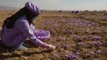 """Nhụy hoa nghệ tây chữa bệnh Alzheimer: """"Đắt xắt ra miếng"""""""