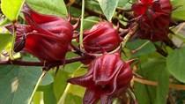 Hoa atisô đỏ không phải thần dược