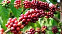 Giá cà phê trong nước giảm 1,2 triệu đồng/tấn