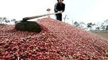 Giá cà phê trong nước giảm tiếp 600 nghìn/tấn do real Brazil suy yếu