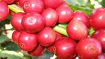 Giá cà phê trong nước giảm trở lại 300 nghìn đồng/tấn