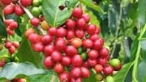 Giá cà phê trong nước tiếp tục giảm thêm 400 nghìn đồng/tấn