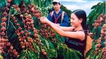 Giá cà phê trong nước giảm mạnh 800 nghìn đồng/tấn ngày 8/10