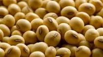 Thị trường NL TĂCN thế giới ngày 24/1: Giá đậu tương giảm