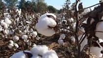 USDA: Dự báo cung cầu bông thế giới niên vụ 2017/18