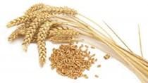 Giá lúa mì Nga giảm do nhu cầu yếu