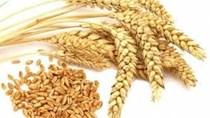 Giá lúa mì Nga tăng do nhu cầu cao và thời tiết khô