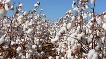 USDA: Dự báo cung cầu bông thế giới niên vụ 2020/21