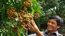 Nhãn lồng Hưng Yên có cơ hội vào Mỹ, Úc, ASEAN