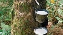 Tồn trữ nhiều cao su tại Thanh Đảo (TQ) gây áp lực lên giá