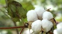 USDA dự báo trữ lượng bông thế giới tăng do nhu cầu Trung Quốc thấp