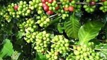 """""""Mưa vàng"""" ở Brazil khiến giá cà phê giảm mạnh"""
