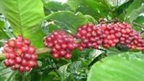 Thị trường cà phê ngày 20/5/2014