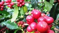 Giá cà phê Tây Nguyên giảm về 41,1 triệu đồng/tấn