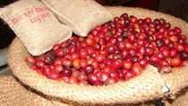 Thị trường cà phê ngày 10/6: đảo chiều tăng 200 đồng/kg