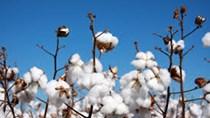 USDA: Dự báo cung cầu bông  thế giới niên vụ 2015/16