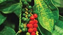 Hồ tiêu Việt Nam 14 năm liền giữ ngôi vị xuất khẩu số 1 thế giới