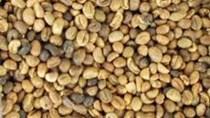 Xuất khẩu cà phê toàn cầu tăng 7% lên mức 56,1 triệu bao trong nửa đầu niên vụ