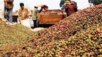 Cà phê Châu Á: Mức cộng của Indonesia giảm, cà phê Việt Nam được thu hút