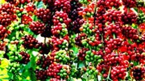 Sản lượng cà phê Indonesia có thể giảm 20 đến 25% do thời tiết ẩm ướt