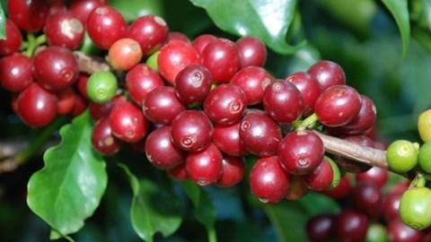 Báo cáo thị trường cà phê tháng 11: Xu hướng giảm giá cà phê quay trở lại