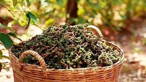 TT hạt tiêu ngày 12/11: Giá tăng 500 đồng/kg tại Đồng Nai