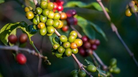 Giá cà phê chiều nay 28/10: Thị trường toàn cầu quyết liệt với nhiều biện pháp khai thông hàng hóa