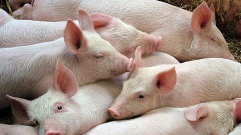 Giá lợn hơi ngày 26/9/2020: Miền Nam tăng trở lại