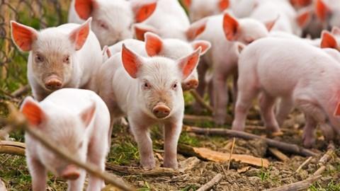 Giá lợn hơi ngày 17/12/2018 biến động trái chiều trên cả nước