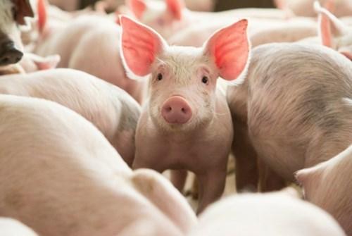 Giá thịt lợn ở Đức vững mặc dù xuất khẩu sang châu Á giảm