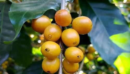 TT cà phê ngày 23/10: Lâm Đồng vẫn chốt mức giá thấp nhất dưới 31.000 đồng/kg