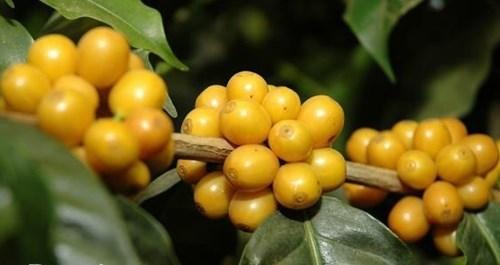 TT cà phê ngày 21/8: Giá hồi phục 100 đồng lên mức 32.200 – 33.300 đồng/kg