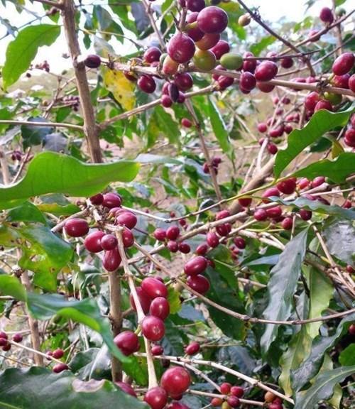TT cà phê ngày 21/10: Giá ở mức 31.100 – 31.600 đồng/kg sau khi hồi phục cuối tuần
