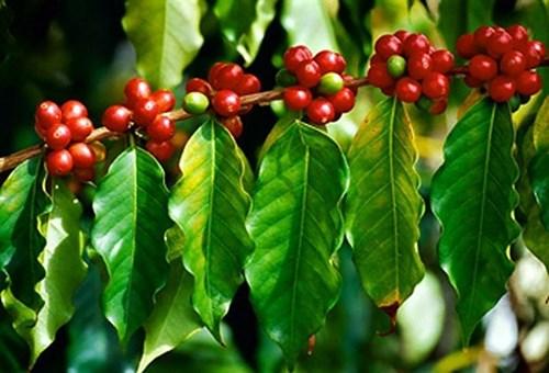 TT cà phê ngày 24/9: Giá hồi phục nhẹ 200 đồng/kg