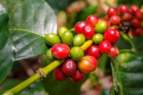 TT cà phê ngày 22/01: Giá giảm thêm 300 đồng/kg trên toàn vùng nguyên liệu