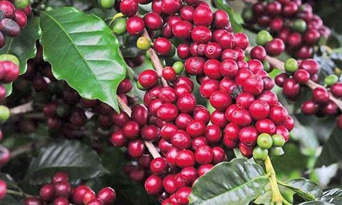 TT cà phê ngày 31/3: Giá các tỉnh Tây Nguyên mất mốc 32.000 đồng/kg