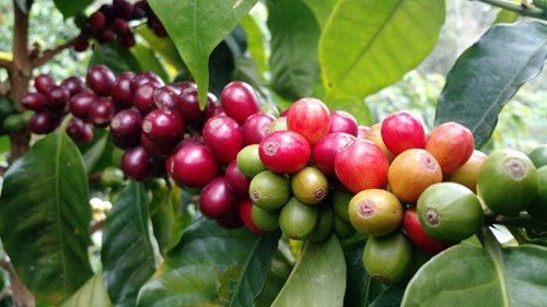 Giá cà phê hôm nay 18/5: Chững lại sau khi giảm nhẹ trong phiên giao dịch trước đó
