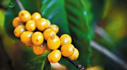 TT cà phê ngày 11/5: Giá giảm 400 đồng xuống mức 32.700 – 33.600 đồng/kg